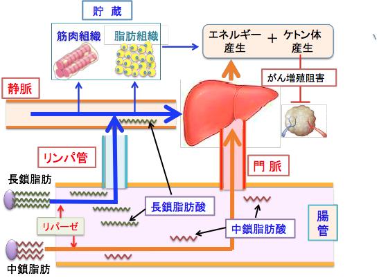 脂肪の吸収と代謝